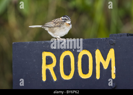 Rufous-collared Sparrow sitting on a room sign, Zonotrichia capensis, Costa Rica - Stock Photo