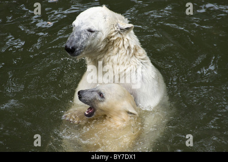 Polar Bear with kid (Ursus maritimus, Thalarctos maritimus) in water - Stock Photo