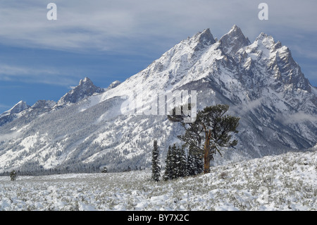 Old Patriarch Tree the morning after snowstorm in Grand Teton National Park. - Stock Photo