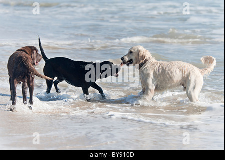 dogs playing on the beach - Stock Photo