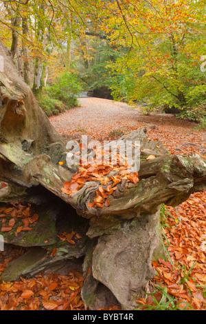 Fallen Tree; Woodland; near bodmin; Cornwall - Stock Photo