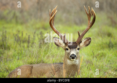 A Black-tailed Deer buck with tall antlers in a bed . - Stock Photo