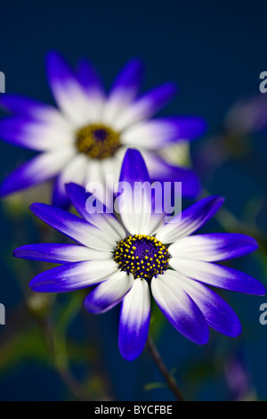 Senetti flowers - Stock Photo