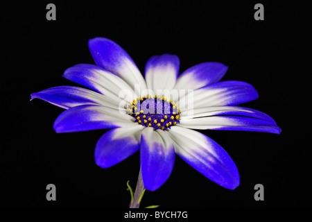 Plant portrait of senetti flower - Stock Photo