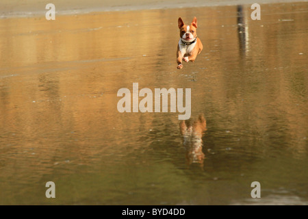 Red Brown Boston Terrier dog jumping with glee at beach over water with reflection below - Stock Photo