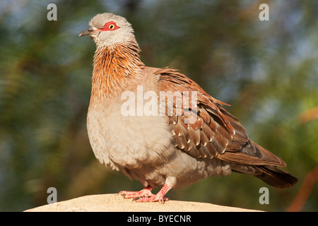 Speckled Pigeon (Columba guinea) standing on a rock. - Stock Photo