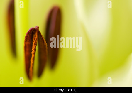 lily flower close up - Stock Photo