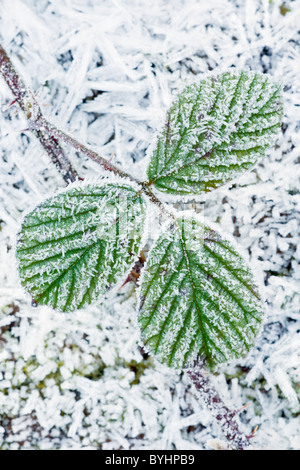 Frosted Bramble Leaves - Stock Photo