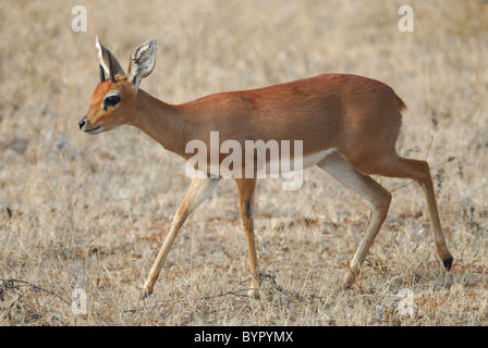Male Steenbok in Kruger National Park, South Africa - Stock Photo