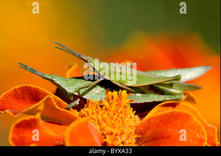 Pair of Grasshoppers mating India - Stock Photo