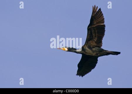 great cormorant Kormoran Phalacrocorax carbo - Stock Photo