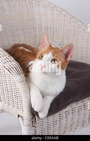Hauskatze, liegt im Korbsessel, Felis silvestris forma catus, Domestic-cats, lies in basket chair - Stock Photo