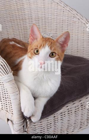 Hauskatze, Felis silvestris forma catus, Domestic-cats - Stock Photo