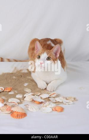 Hauskatze, schaut aufmerksam, Felis silvestris forma catus, Domestic-cat, looks attentively - Stock Photo