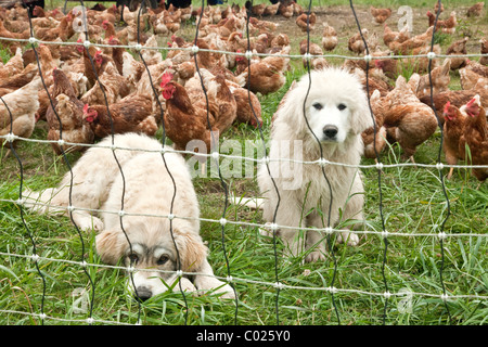 Great Pyrenees young pups, free range chickens, egg production. - Stock Photo