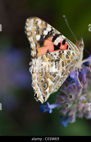 Painted Lady (Cynthia cardui) butterfly - Stock Photo