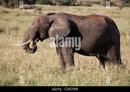 African elephant in Serengeti National Park, Tanzania, Africa - Stock Photo