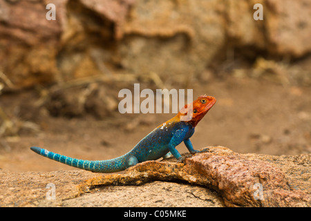 A male agama lizard warming himself on a sandy coloured rock in the Kenyan morning sun. The lizard is bright blue - Stock Photo