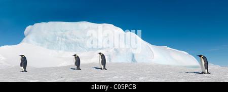 Emperor penguins walking on sea ice, October, Snow Hill Island, Weddell Sea, Antarctica. - Stock Photo