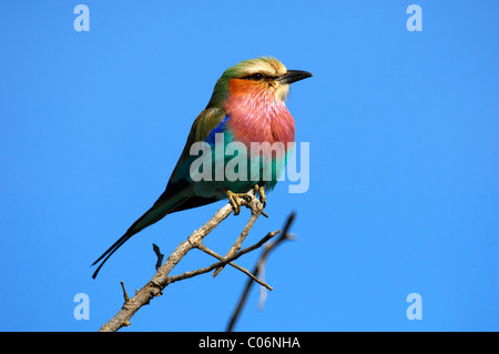 Lilac-breasted Roller (Coracias caudatus), Madikwe Game Reserve, South Africa, Africa - Stock Photo