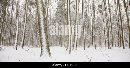 Tree trunks after snow storm covered by fresh snow - Stock Photo