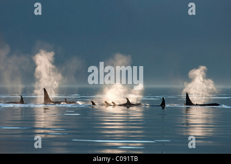 A group of Orca surface in the calm waters of Lynn Canal, Inside Passage, Southeast Alaska, Summer. Composite - Stock Photo