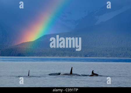 A group of Orca surface in  Lynn Canal with rainshowers and a rainbow beyond, Coastal Range, Inside Passage, Alaska. - Stock Photo