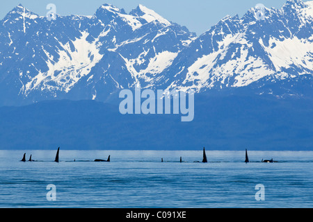 Orca whales surface in Lynn Canal with the Coast Mountains in the distance, Inside Passage, Tongass National Foest, - Stock Photo