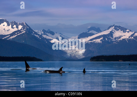 Orcas surface in the calm waters of Lynn Canal with Herbert Glacier in the background, Inside Passage, Alaska. Composite - Stock Photo
