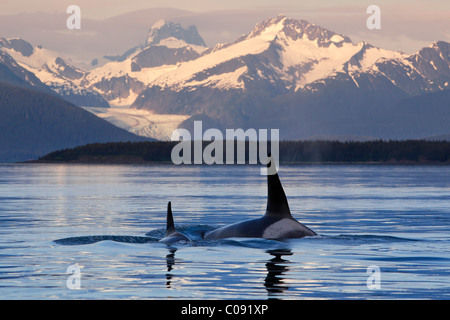 Two Killer whales surface in Lynn Canal as the last light of the day illuminates Herbert Glacier, Inside Passage, - Stock Photo
