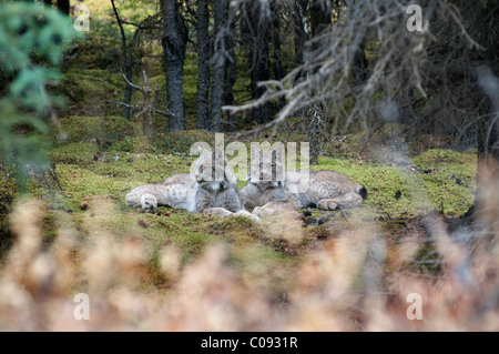 Pair of Lynx rest in mossy opening in dense spruce forest near Igloo Creek in Denali National Park and Preserve, - Stock Photo
