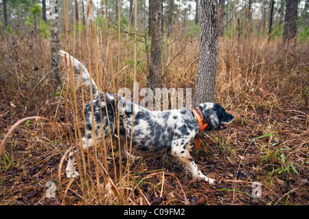 English Setter on Point during Bobwhite Quail Hunt in the Piney Woods of Dougherty County, Georgia - Stock Photo
