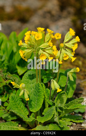Cowslip, primrose (Primula veris) - Stock Photo
