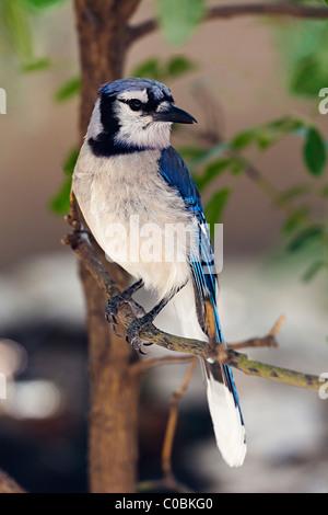 Blue Jay Cyanocitta cristata USA - Stock Photo