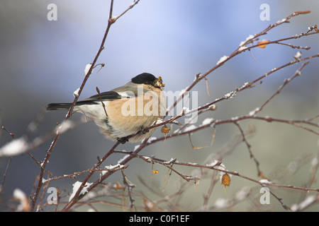 Northern Bullfinch Pyrrhula pyrrhula pyrrhula female feeding in trees at Wells-next-the-Sea in December. - Stock Photo