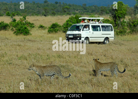 Mother Leopard with her son walking in savanna close to a safari van, Masaï Mara National Reserve, Rift Valley, - Stock Photo