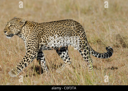 Young adult Leopard male (phantera pardus) walking in savannah, Masaï Mara National Reserve, Rift Valley, Kenya - Stock Photo