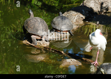 Closeup of a Florida Redbelly Turtle (Pseudemys nelsoni) - Stock Photo