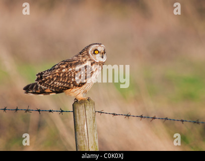 Wild Short Eared Owl perched on wooden fence post in North Lincolnshire - Stock Photo