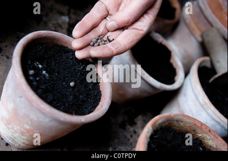 Closeup of seed sowing in pots - Stock Photo
