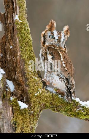 Common Screech Owl Otus asio Rufous color phase Eastern North America - Stock Photo
