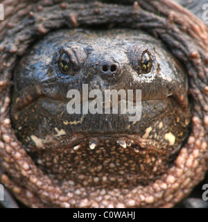 A portrait of a Snapping Turtle up close and personal. - Stock Photo