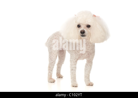 An adorable, white toy poodle photographed in the studio, standing on a seamless white background. - Stock Photo