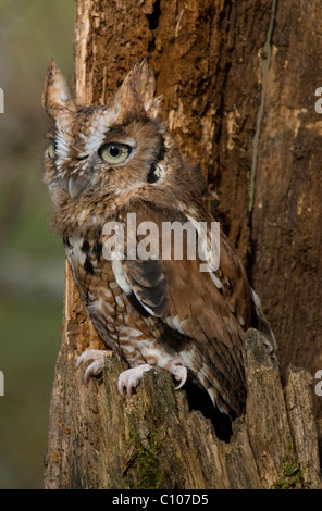 Common Screech Owl Otus asio Rufous or Red color phase Eastern North America - Stock Photo