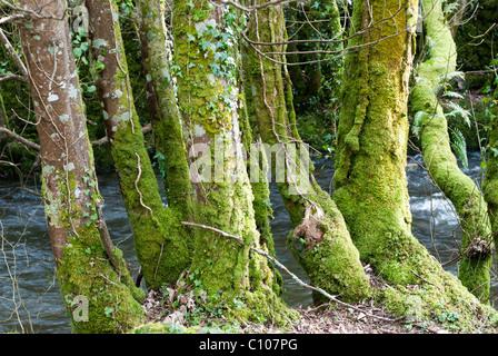 Green moss growing on tree trunks - Stock Photo