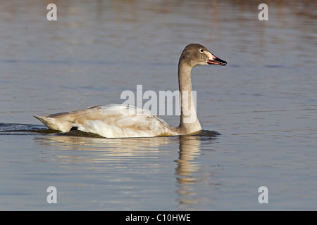 BEWICK'S SWAN JUVENILE ON WATER - Stock Photo