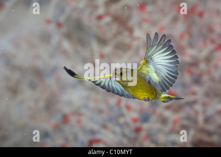 Greenfinch (Carduelis chloris) in flight, winter, Thuringia, Germany, Europe - Stock Photo