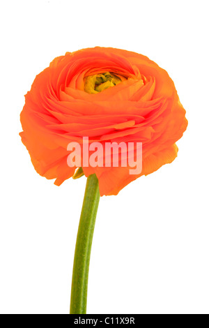 Buttercup (Ranunculus), flower - Stock Photo