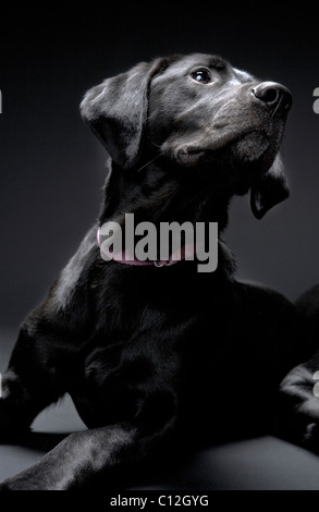 Portrait of a black lab against a black background. - Stock Photo
