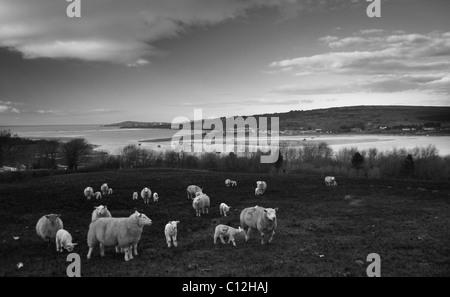 Sheep grazing above Teifi Estuary, Pembrokeshire - Stock Photo